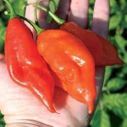 Chiles habanero maya rojo