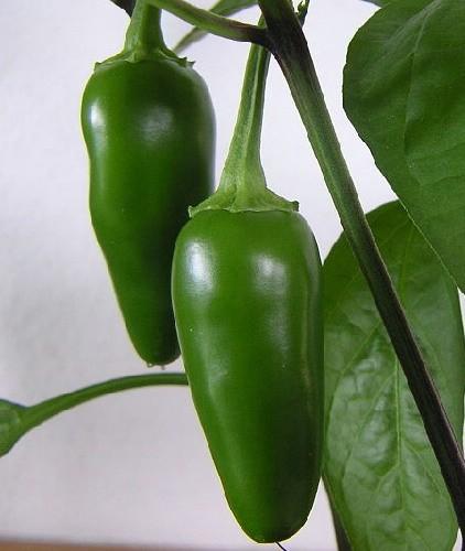 Jalapeños en planta (detalle)