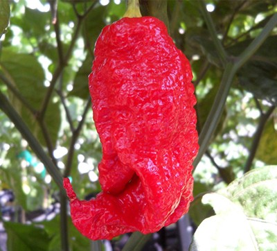 Chiles Jay's Ghost Scorpion Rojo