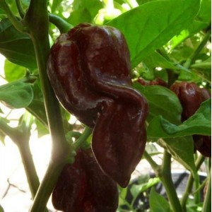 Chiles lengua del diablo chocolate