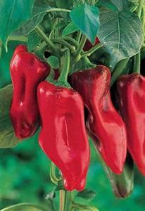 Chiles marconi rojo