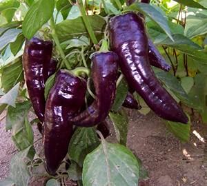 Chiles Marconi Violeta