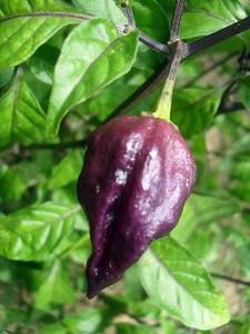 Chile naga jolokia violeta