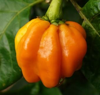 Chiles numex suave naranja