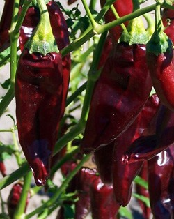 Chiles onza