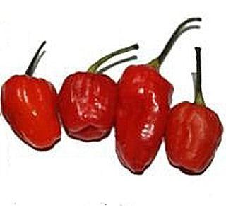 Chiles phiringi jolokia