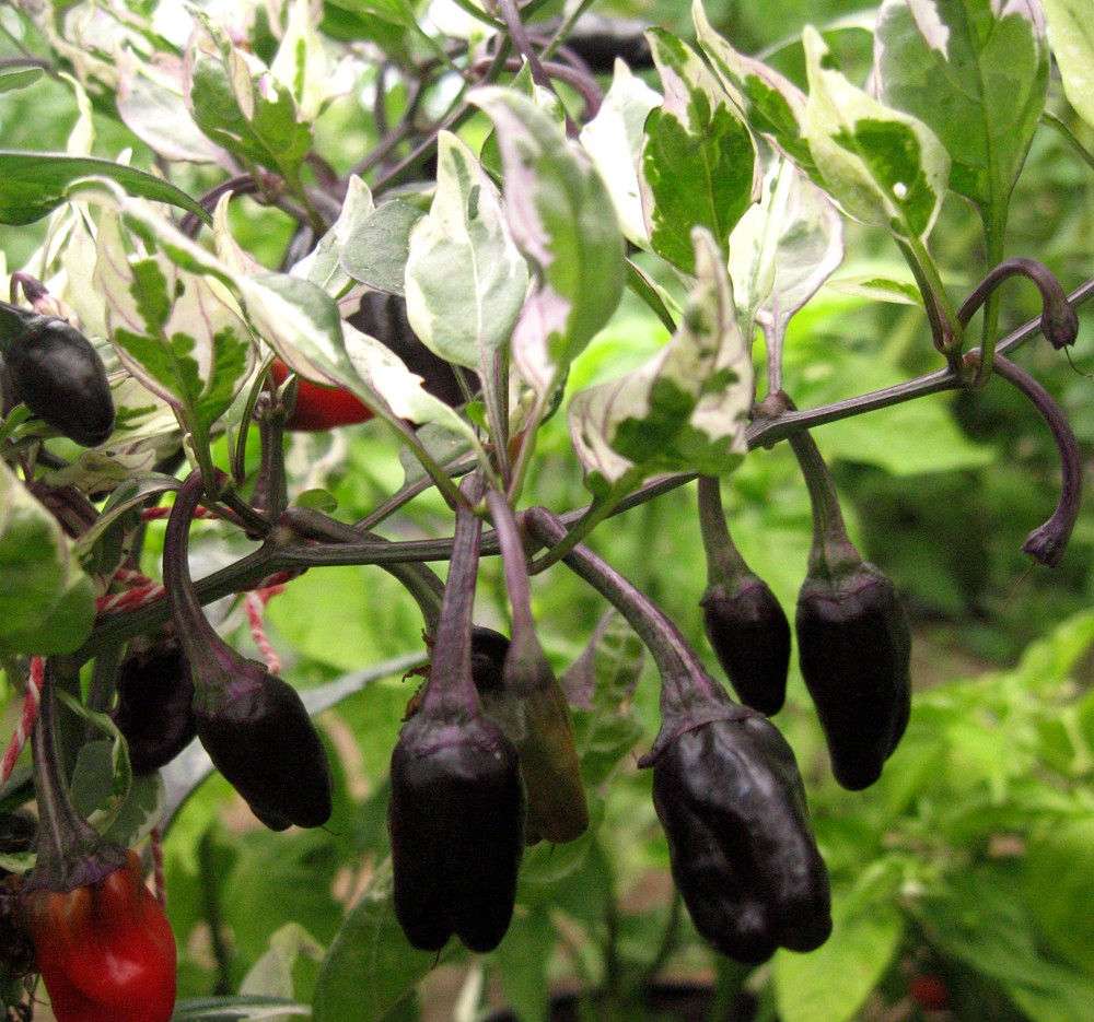 Chiles Purple Tiger