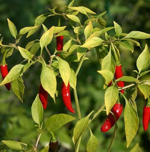 Chiles thai rojo en la planta