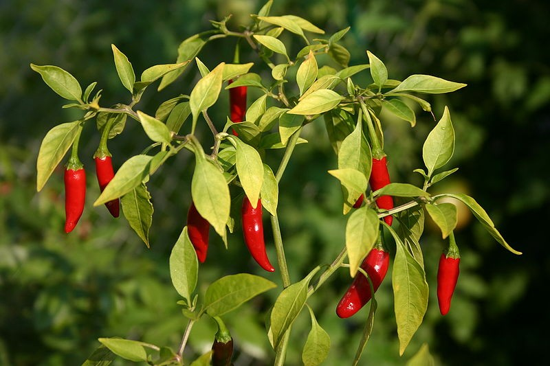 Chiles Thai Chile Rojo