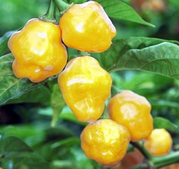 Chiles trinidad perfume en la planta