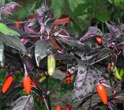 Chiles variegata en la planta