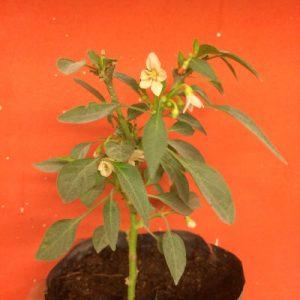 Flor del chile Prairie Fire