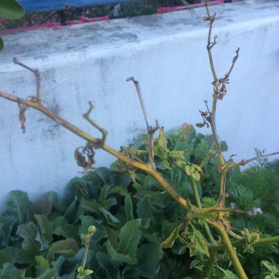 Habanero en invierno con ramas muertas