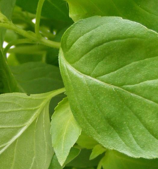 Kemangi (albahaca limón)