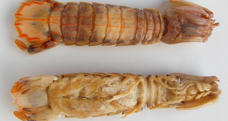Mantis camarones pissing shrimp