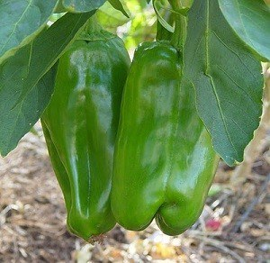 Chiles en planta Big Berta