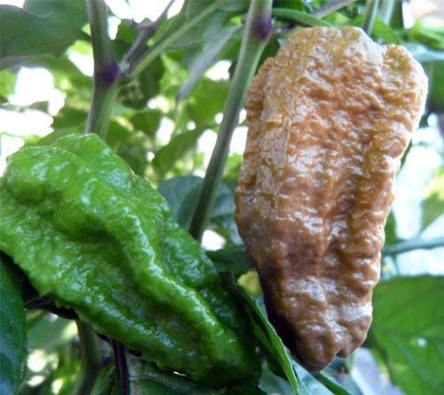 Chiles Naga Jolokia Mostaza