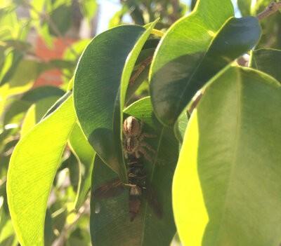 Araña saltadora comiendo una mosca soldada negra