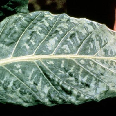 Virus del mosaico del tabaco