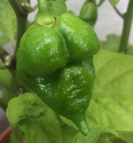 Butch T Escorpión Verde