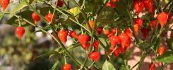 chiles rojos en planta
