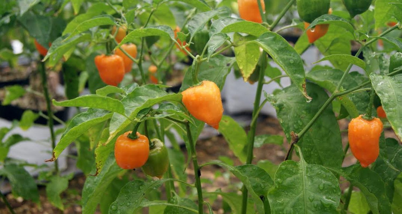 Planta de habanero naranja